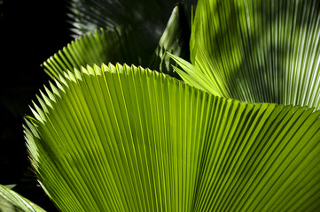 Green leaf, botanical garden (Rio de Janeiro, Brazil)