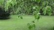 Rain water drops flow on apple fruit tree twig leaves in garden
