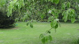Rain water drops flow on apple fruit tree twig leaves in garden