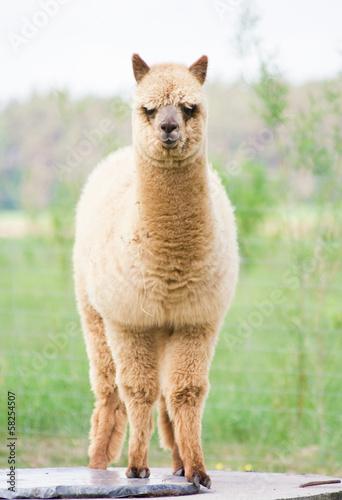 Foto op Aluminium Lama alpaca portrait