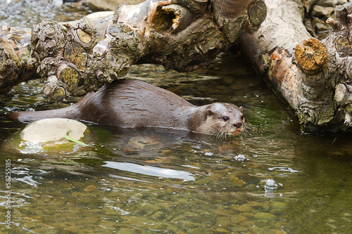 Otter playing in water 2995