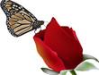 farfalla sulla rosa