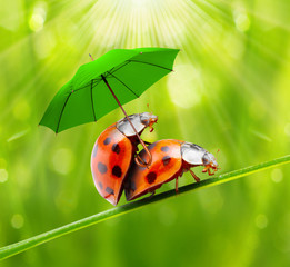 Funny picture of a love making ladybugs couple.