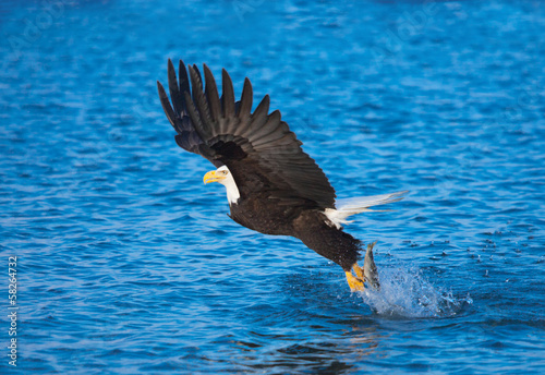 Bald Eagle with fish in talons, Alaska