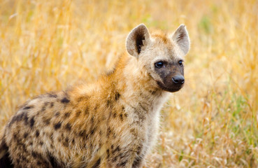 Juvenile spotted hyena in Kruger National Park