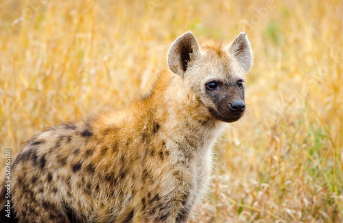 Papiers peints Hyène Juvenile spotted hyena in Kruger National Park