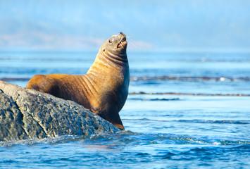 Steller Sea Lions Resting on rock