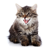 Striped fluffy mewing kitten on a white background poster