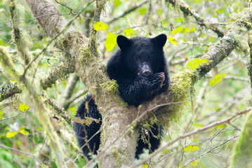 Black Bear Mother Cub in a Tree, British Columbia, Canada