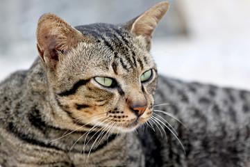 Thai Cats Staring.