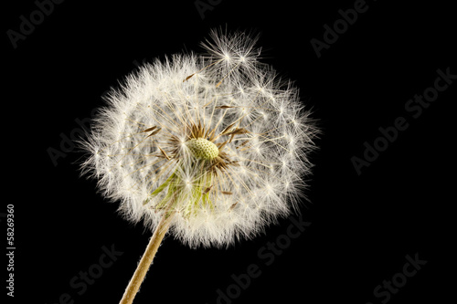 Dandelion Beautiful dandelion with seeds on black background