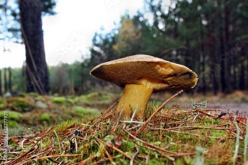 Mushroom suillus variegatus