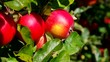 Apfel am Baum vid 06