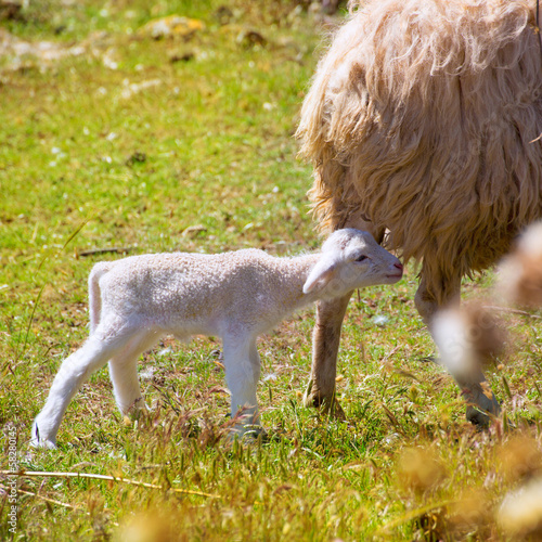 Mother sheep and baby lamb grazing in a field