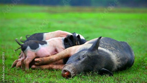 potbellied pigs mother sow with nursing babies