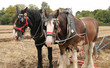 Two Large Working Horses Pulling a Farm Plough.