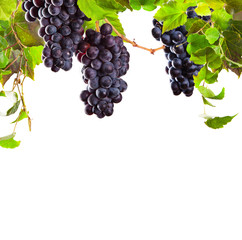 Red wine grapes isolated on white background