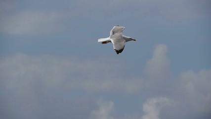 gaviota patiamarilla volando