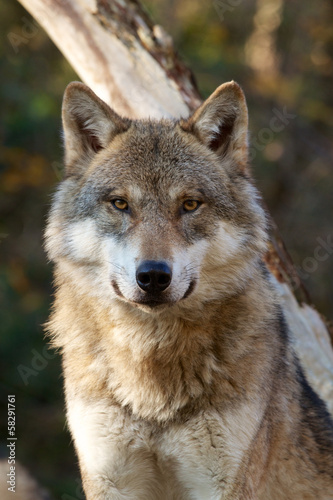 Poster Wolf Grey Wolf - Canis Lupus