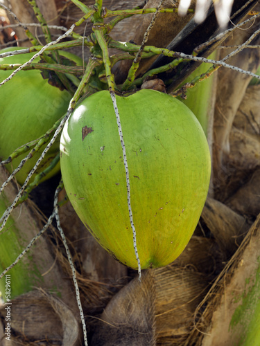 Ripe coconut on palm tree