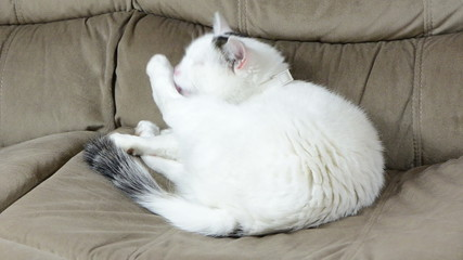 White spotted cat sit on couch sofa and wash paw