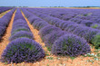 canvas print picture - campi di lavanda in provenza