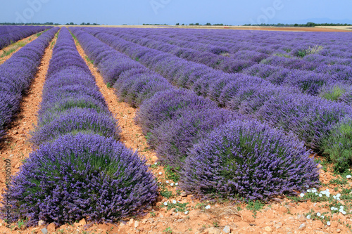canvas print picture campi di lavanda in provenza