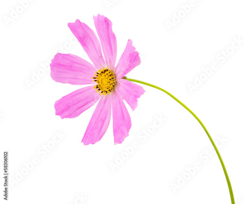 Pink Cosmea Rose. Beautiful Cosmos Flower
