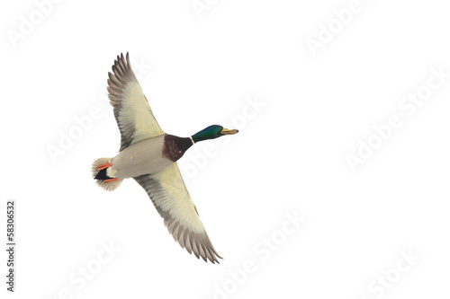 A flying mallard duck