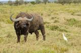 water buffalo and bird on grasslands
