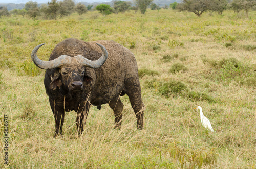 water buffalo and bird on grasslands