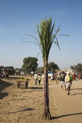 Bundle of sugar canes in a fair, Pushkar, Ajmer, Rajasthan, India