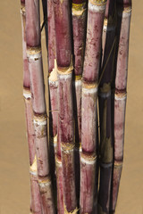 Close-up of a bundle of sugar canes, Pushkar, Ajmer, Rajasthan, India