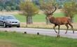 car deer stag crossing road infront of car at bushy park uk