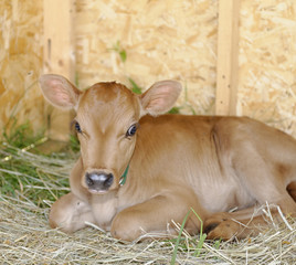 Calf in Hiram House Camp farmstead barn.