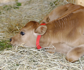 Calf at Hiram House Camp farmstead barn.