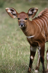 Bongo, Tragelaphus eurycerus