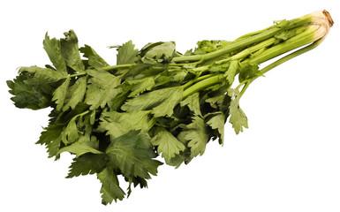 Close-up of cilantro leaves