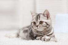 Chat sur le tapis