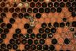 naissance d'une jeune abeille
