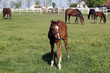 brown foal and horses on farm