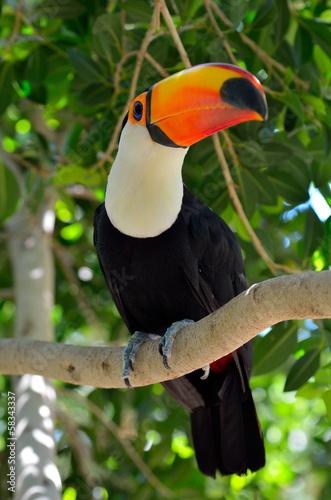 Fotobehang Toekan toucan outdoor - Ramphastos sulphuratus