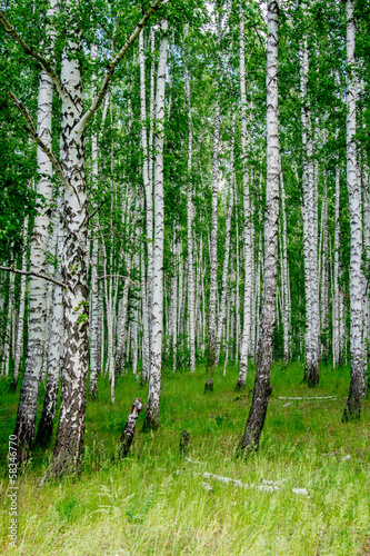dense birch forest. Summer rural landscape