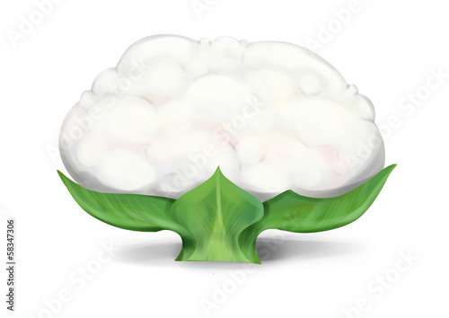 Simple, realistic  white cauliflower illustration, front view.