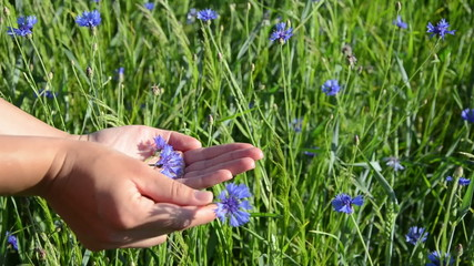 hand gather cornflower blue flowers put them in the pal hand