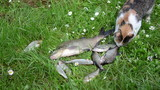Alive fishes lie struggle on grass and pet cat steal food