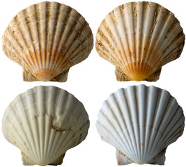 Four Scallop Shells - See Pectinidae - 3