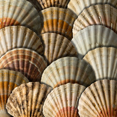 Scallop Shells Background
