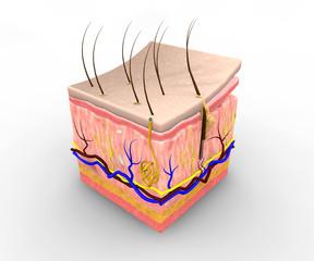 Sezione pelle corpo umano, anatomia