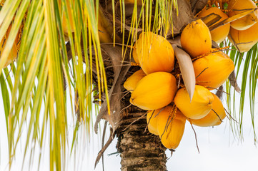 Gold yellow coconut seed